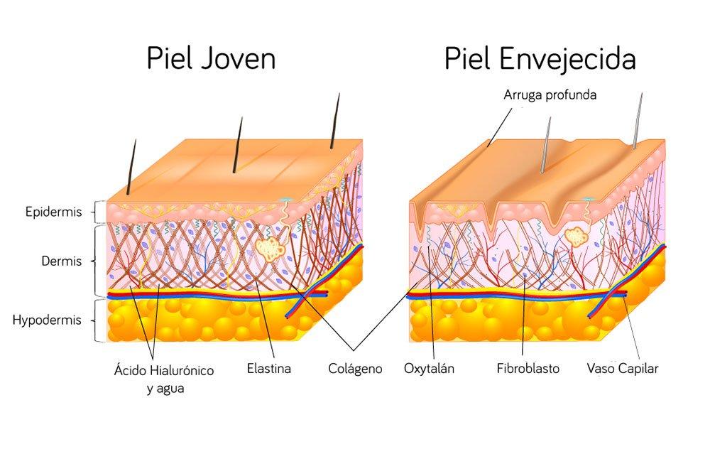 Diferencias entre la estructuras de la piel joven y la piel envejecida