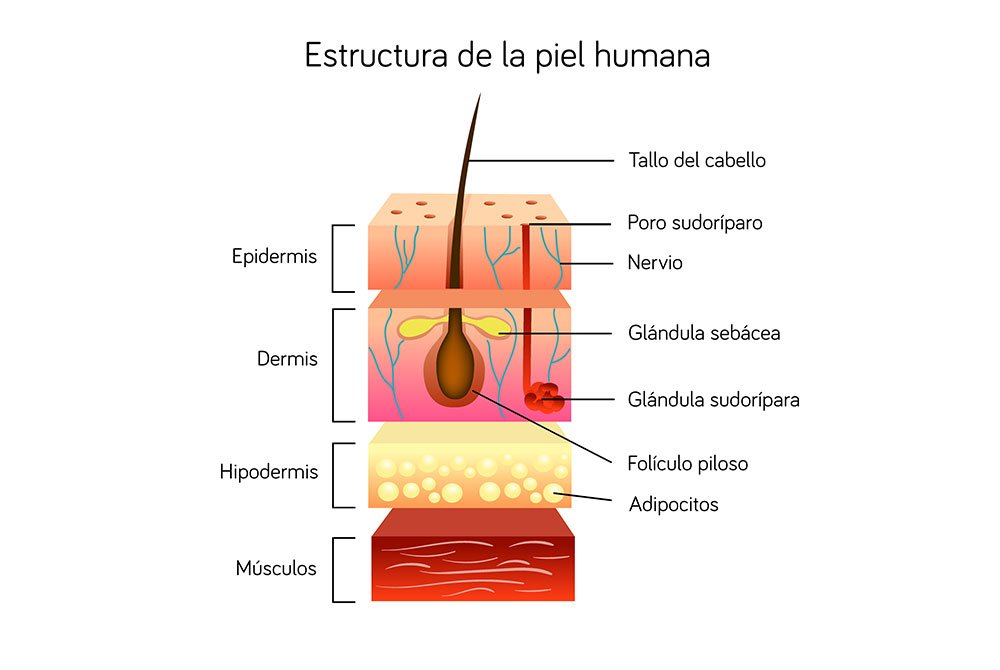 Estructura de la piel humana